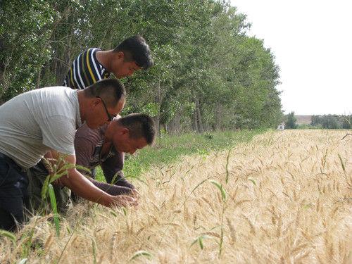 第十师一八二团万亩春小麦丰收在望