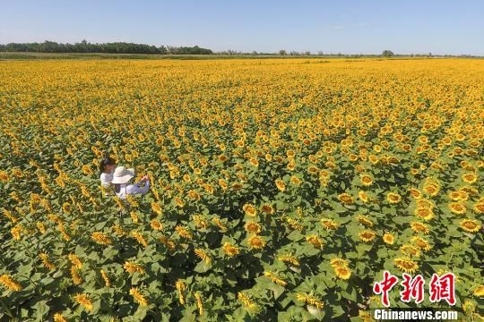 新疆兵团北部13万亩向日葵怒放