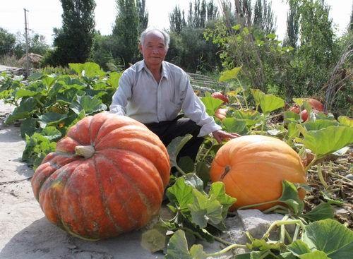 新疆兵团七旬老人收获重达56公斤巨型南瓜