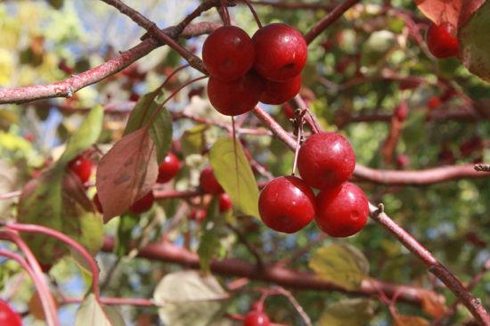 一八六团海棠果成熟 火红海棠果挂满枝头