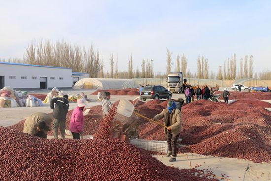新疆兵团第二师三十六团职工红枣销售忙