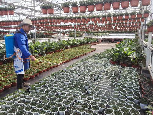 七十团设施农业园培育花卉新品种