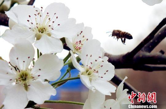 新疆沙漠边城百万亩梨花绽放 呈缤纷世界