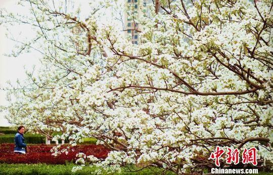 3月29日,新疆库尔勒千树万树梨花似雪,把沙漠边城装扮得分外秀丽妖艳。 杨厚伟 摄