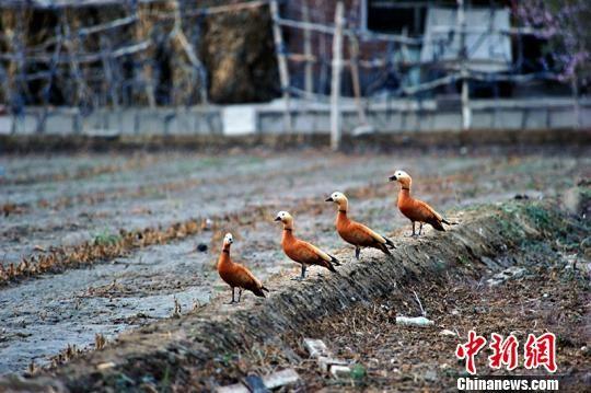 六只赤颈鸭现身职工门前小块地,时而翻飞鸣叫,时而游弋戏水。 杨邦力 摄