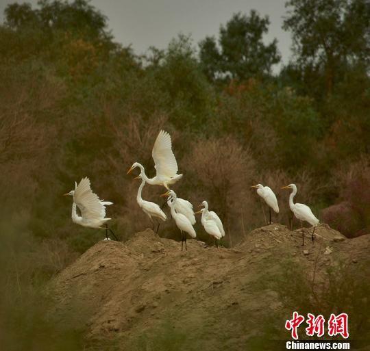 白鹭来到塔里木垦区栖息。(资料图) 杨邦力 摄