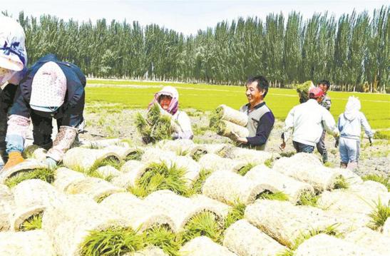 阿拉尔垦区12.9万亩水稻栽插
