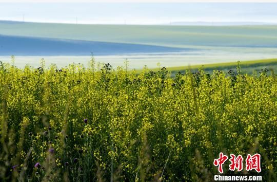"""新疆昭苏62万亩油菜花盛开如""""金色海洋""""延伸到云端"""