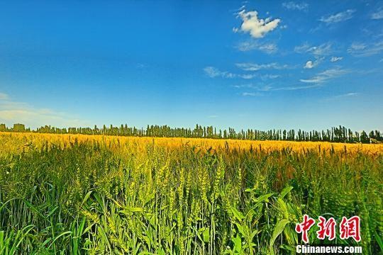 新疆焉耆将迎小麦收获季 金色麦田展绚丽丰收色彩