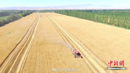 满眼金黄!航拍8万亩小麦开镰收割