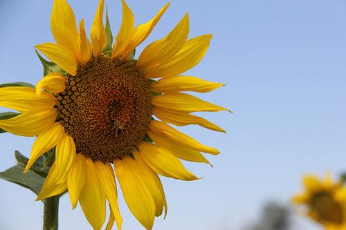 第十师一八六团万亩向日葵竞相开放美如画