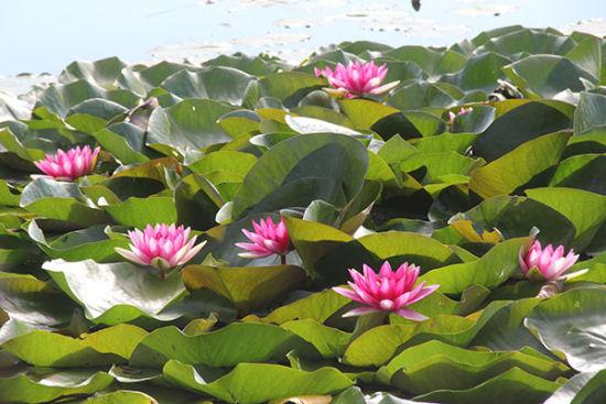 一八五团白沙湖睡莲花开迎客来