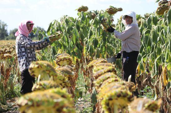 一八四团3万余亩食葵喜获丰收