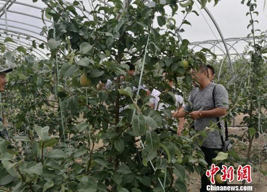 山西玉露香梨在新疆北部高寒地区成功种植