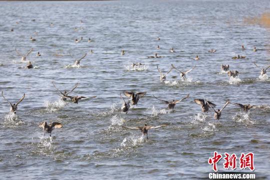 新疆博斯腾湖冬日生态美 水鸟翩翩来(组图)