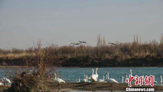 新疆开都河流域生态环境改善吸引大批候鸟栖息越冬