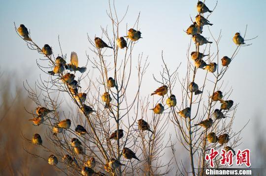 新疆克拉玛依冬日田野麻雀觅食成群场面壮观