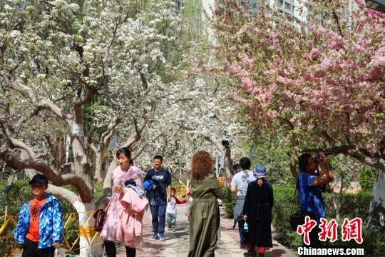 新疆库尔勒百万亩梨花绽放 数万游客踏青赏花