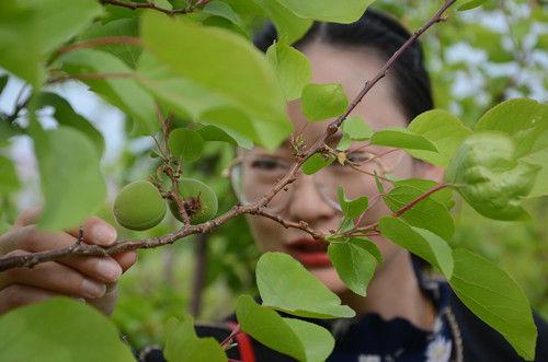 一八二团棚栽杏树首次坐果