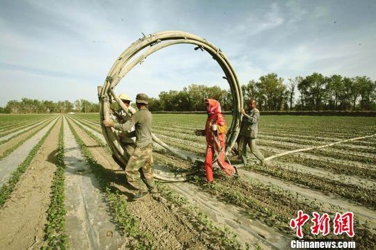 航拍新疆兵团广袤棉田抗旱加压节水管网铺设 场面壮观