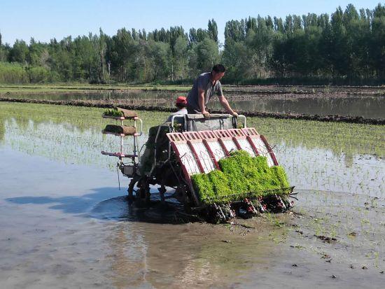 六师芳草湖农场水稻插秧全部实现机械作业