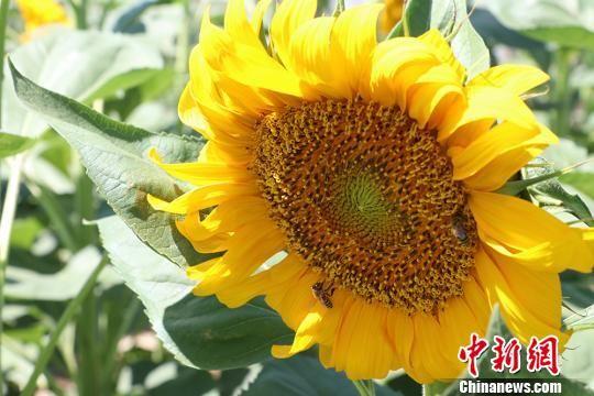 新疆兵团团场8万亩葵花绽放 吸引参观者