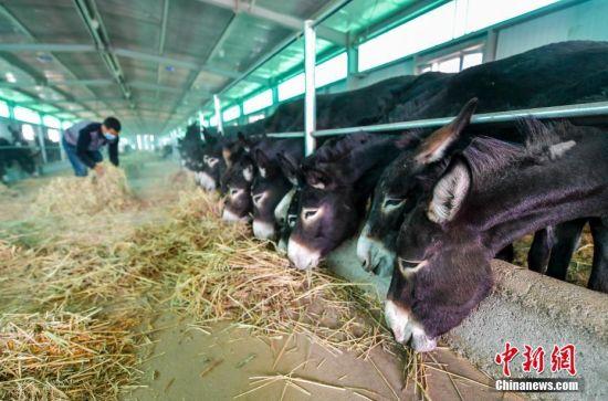 新疆皮山发展驴产业 帮助贫困户持续增收