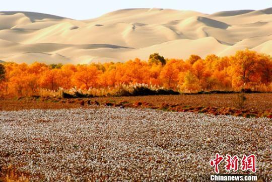 新疆兵团农场两大沙漠夹缝中持续植树造林改善生态环境