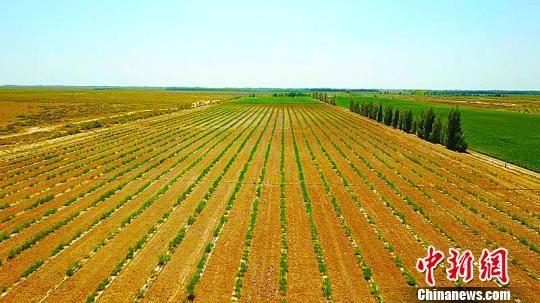 北部荒漠人工种植的梭梭林。 牛国华 摄